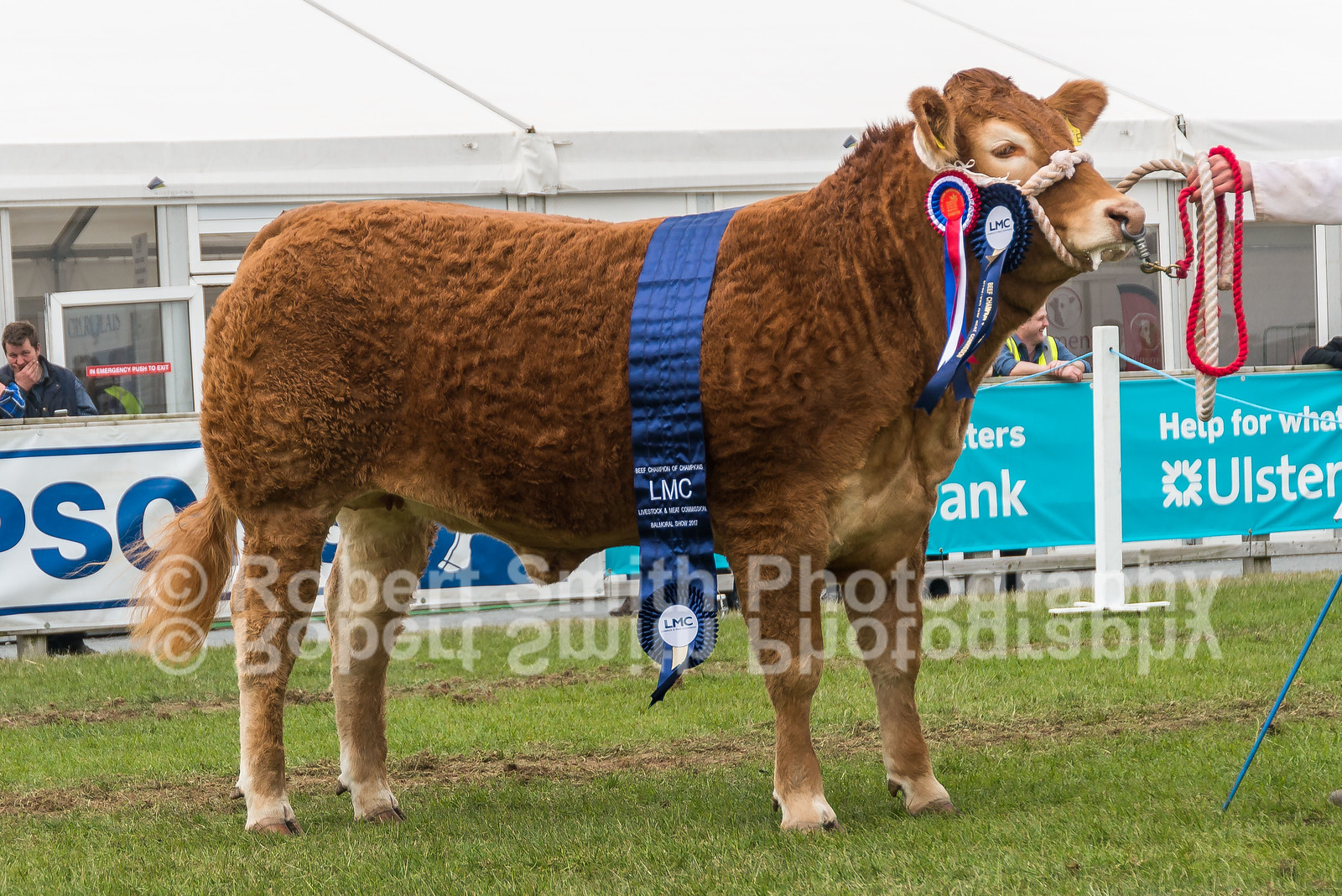 Interbreed Beef Champion - H Savage & Sons - Limousin