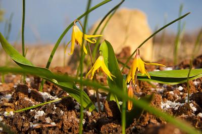 Glacier Lilys