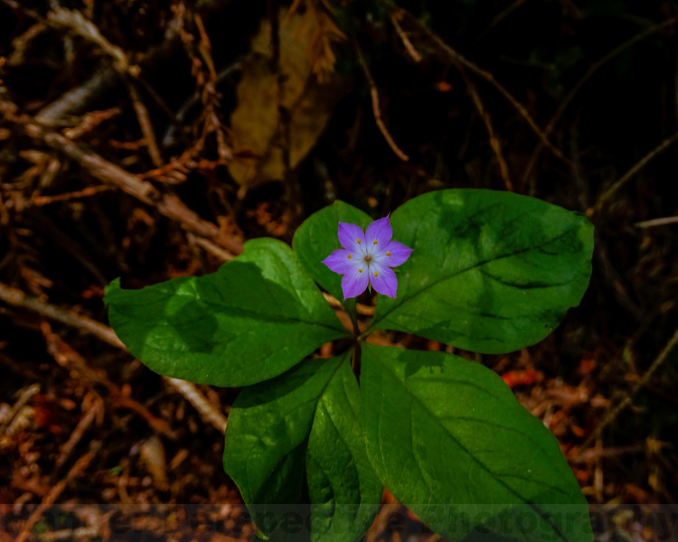 Broadleaf Starflower on Bolinas Ridge
