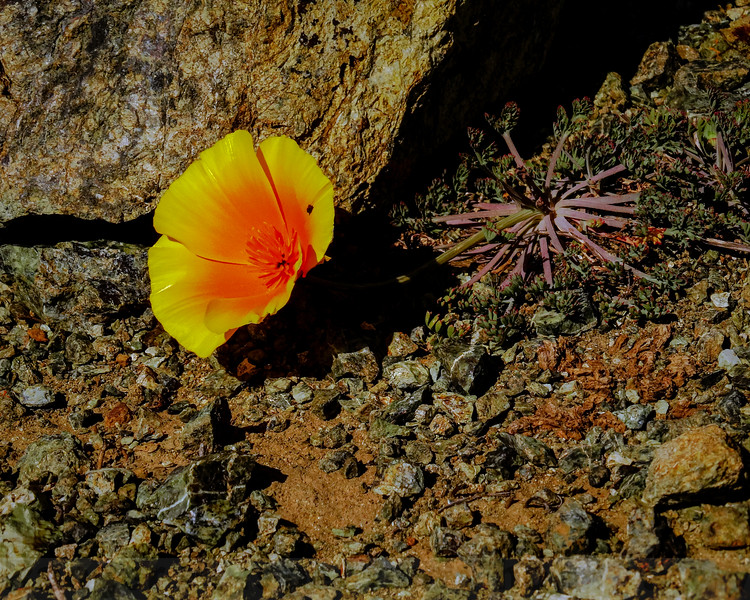 California Poppy along Oat Hill Fire Road
