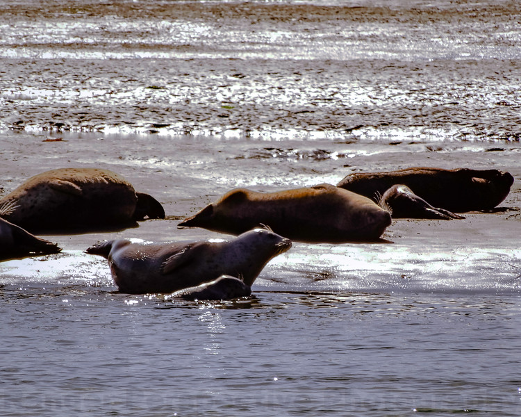 Bolinas Lagoon Harbor Seals
