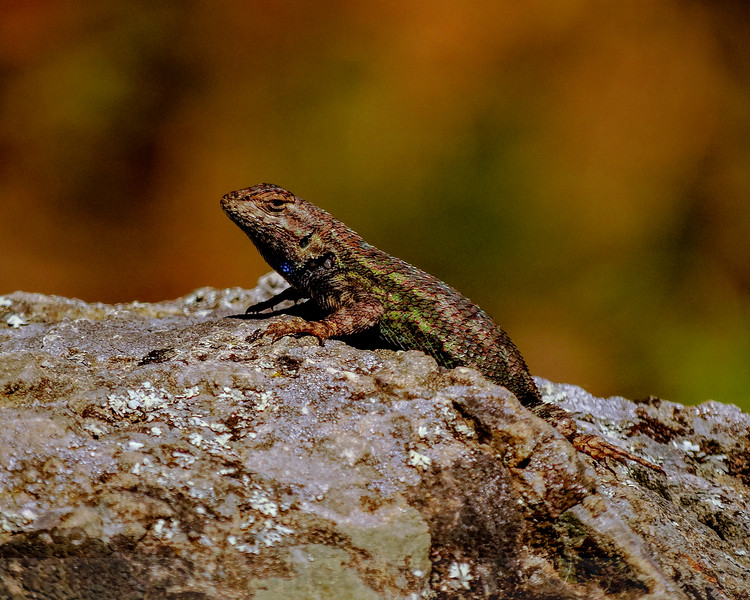 Western Fence Lizard at Carson Falls