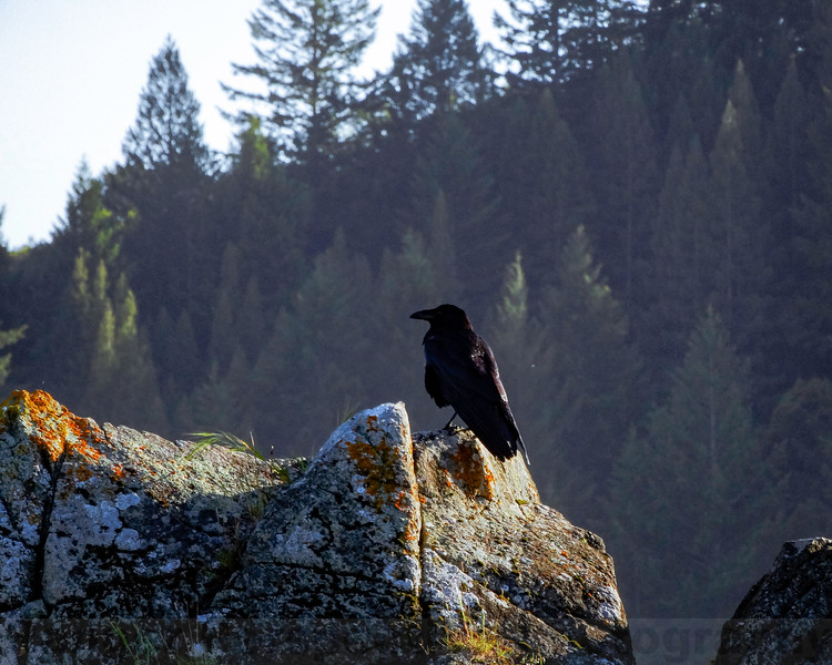 Raven near Azalea Hill
