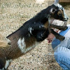 Goats (12 of 185)