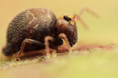 Springtail with a size of around 1.0 mm, made with magnification factor 10 and f/5. It is a single picture and the picture has been made in the garden using a handheld Canon 7D fitted with a macrolens MP-E 65mm/f2.8 and  two Canon 2x teleconverters. Members of Collembola are normally less than 6 mm long. Most species have an abdominal, tail-like appendage, the furcula, that is folded beneath the body to be used for jumping when the animal is threatened. It is held under tension by a small structure called the retinaculum and when released, snaps against the substrate, flinging the springtail into the air. All of this takes place in as little as 18 milliseconds (ref. Wikipedia)