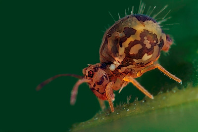 Profile springtail (Collembola) with a size of around 1 mm, made with magnification factor 8 and f/7.1. Members of Collembola are normally less than 6 mm long. Most species have an abdominal, tail-like appendage, the furcula, that is folded beneath the body to be used for jumping when the animal is threatened. It is held under tension by a small structure called the retinaculum and when released, snaps against the substrate, flinging the springtail into the air. All of this takes place in as little as 18 milliseconds (ref. Wikipedia).