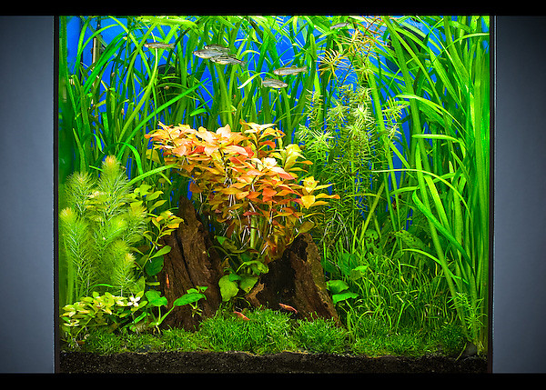 "<span class=""journalHeading"">15 Gallon Tall - Closer View</span><div class=""journalBody""><span class=""pos_right""></div></span><span align=""center""class=""journalBody"">Here is a closer view of the 15 gallon tall tank.  Given the injected CO2 and the high light, the plants in this tank grow very fast and need to be trimmed weekly.  At this stage, I am still concentrating on the ""how"" of things, and the mechanics.  But eventually, I plan to put more effort into the design of the aquascape itself - working toward that elusive Nature Aquarium style mastered by Takashi Amano and others.</span>"