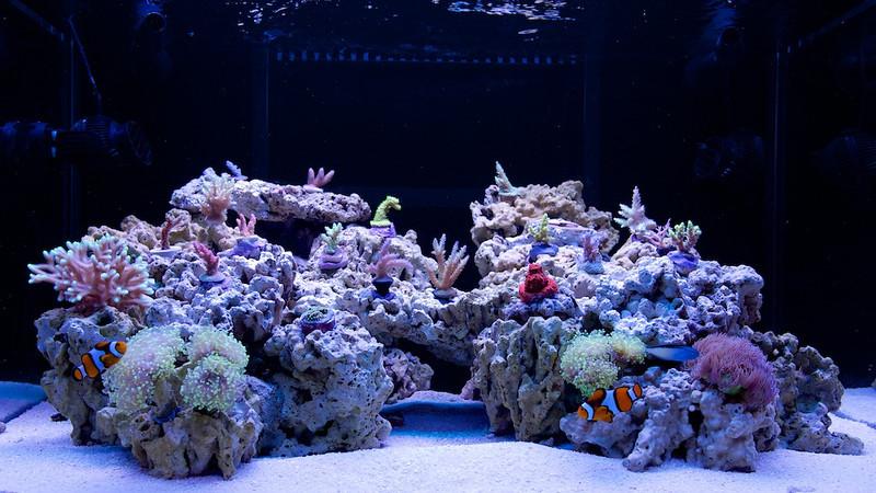 FTS - 75G SPS Aquarium 2013-05-25 - 25