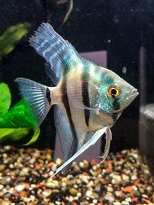 Philippine blue silver male