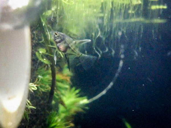 Angelfish fry - 30 days