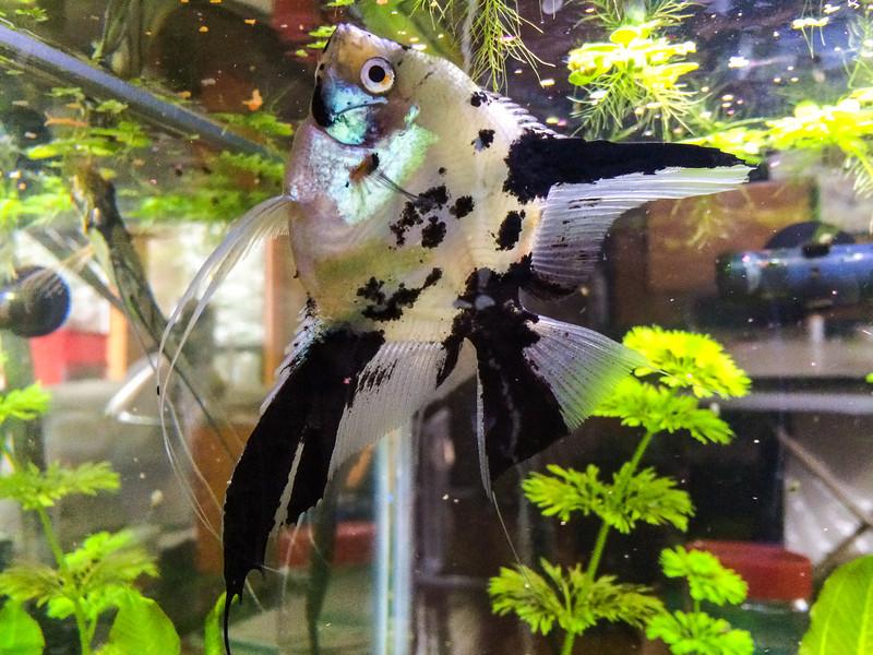 Gold marble blushing (koi) male