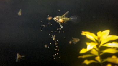 Angelfish fry - 34 days