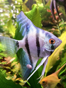 Philippine blue silver male