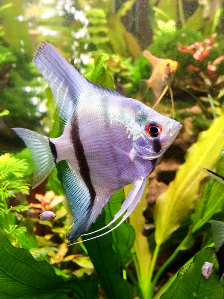 Philippine blue silver  (ghost?) male