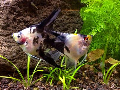 Gold marble blushing (koi) males