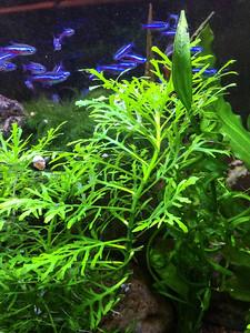 "Hygrophila difformis ""Water Wisteria"""