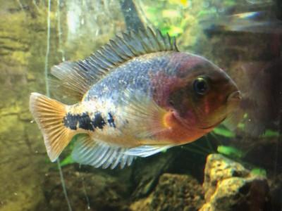 Redhead Cichlid (vieja synspilum)