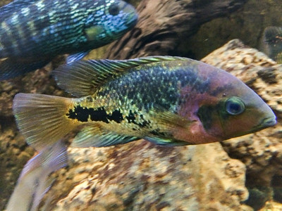 Redhead cichlid (Jack Dempsey in the background)