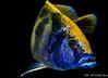 Nimbochromis venustus