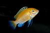 "Juvenile 1 1/2"" Electric Yellow Cichlid (Labidochromis Caeruleus)"