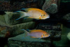 Pair of Brichardi (Neolamprologus brichardi)