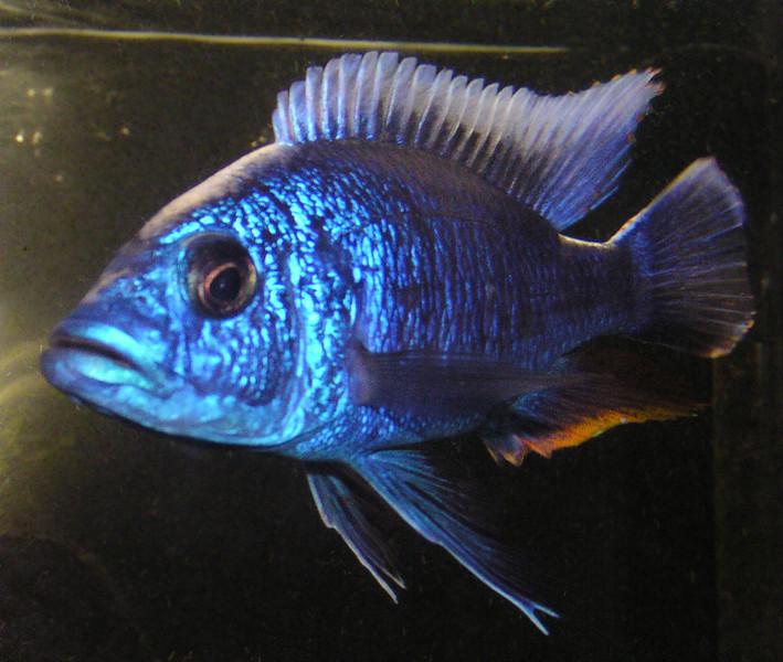 Electric Blue Peacock Cichlid (Sciaenochromis fryeri)