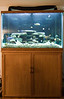 This is a poor quality picture, but I will replace it later.  This is our new 150 gallon tank on the stand I originally made for the 72 bow front.  The fish look small in the new tank.