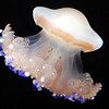 Mediterranean jellyfish, Monterey Bay Aquarium.<br /> Found primarily in the Mediterranean Sea, Aegean Sea and Adriatic Sea, these jellies, unlike many others of its species, are capable of autonomous movement without relying on the current.