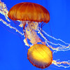"""West Coast sea nettle, Monterey Bay Aquarium.<br /> A common variety of true jellyfish found in the Pacific Ocean (mostly near the coast from California to Alaska).  Not all jellies sting, but the West Coast sea nettle packs a powerful punch. The """"bell"""" can grow up to 3 feet and the long and the spiraling oral arms accompanied with the 24 stinging tentacles may trail as far as 12 to 15 feet long.  It hunts tiny drifting animals by trailing those long tentacles and frilly mouth-arms in the current."""