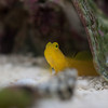 Watchman Goby