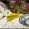 Yellow Watchman Goby - 50mm + Close Up Filter
