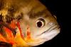 Close Up of Tiger Oscar (Astronotus ocellatus)