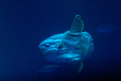 Sunfish  ©  Sharon Nummer  What an amazing fish.  If I was scuba diving, he'd probably scare me.  He's a slow mover, but fun to watch.