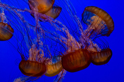 Jellyfish No. 1  at Monterey Bay Aquarium ©  Sharon Nummer  Incredibly mesmerizing, these jellies were wonderful to photograph.  I could have stayed and watched and photographed them for quite a while.