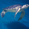 Sea Turtle  ©  Sharon Nummer<br /> I love watching the turtle swimming.  In reality, the huge tank was pretty dark, but I got lucky and was able to capture this guy with the wonderful lighting.