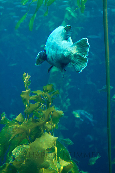 Fish in the kelp forest  ©  Sharon Nummer  I still have to identify this fish, but he kept swimming by the viewing area where I was standing.  Maybe he was a ham!  But, he gave me plenty of opportunity to capture him digitally.