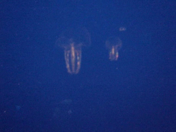 Really really cool jellyfish!  They glow like Christmas ornaments!