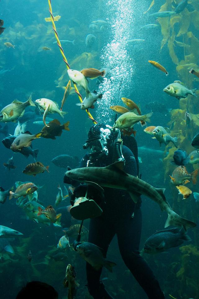 Kelp garden feeding time at the Monteray Bay Aquarium
