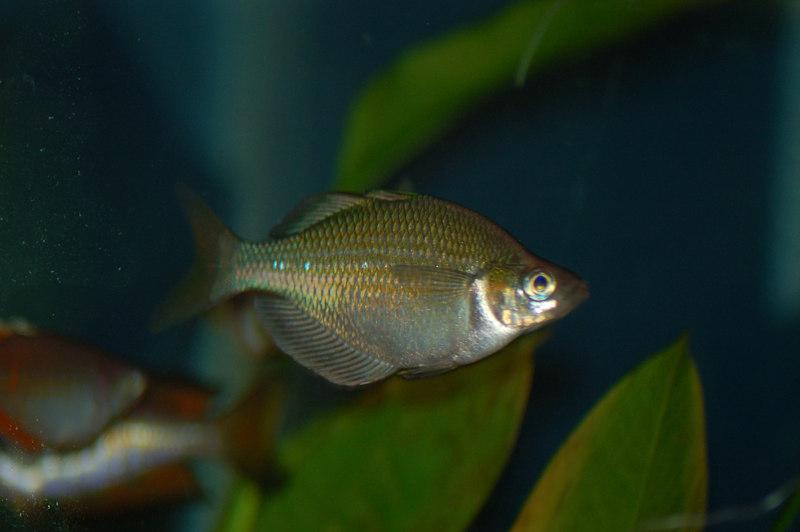 Lake Wanam or Emerald Rainbowfish (glossolepis wanamensis)