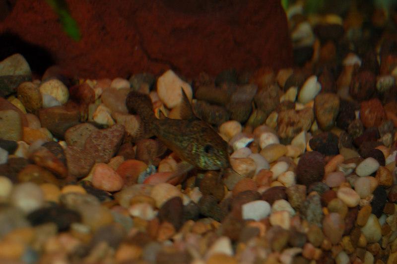 Peppered Cory (corydoras paleatus)