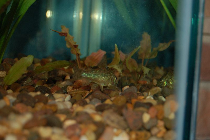 Peppered Cory (corydoras paleatus)