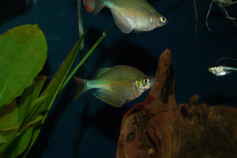 Lake Wanam or Emerald Rainbowfish (glossolepis wanamensis)