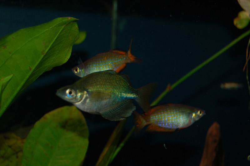 Lake Wanam or Emerald Rainbowfish (glossolepis wanamensis) and Parkinson's Rainbowfish (melanotaenia parkinsoni)
