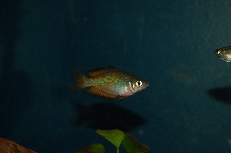 Parkinson's Rainbowfish (melanotaenia parkinsoni)
