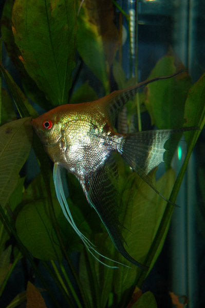 Josh's large freshwater angelfish, now in his new 20 XH tank.