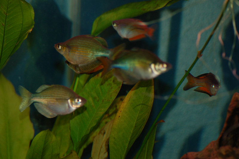 Parkinson's Rainbowfish (melanotaenia parkinsoni) and Lake Wanam or Emerald Rainbowfish (glossolepis wanamensis)