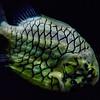 Pinecone Fish @ National Aquarium