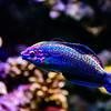 Wrasse @ National Aquarium Baltimore Inner Harbor