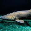Sand Tiger Shark @ National Aquarium