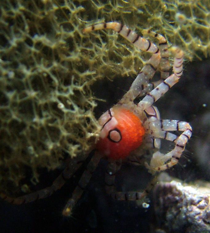 Boxer crab with eggs. 1 gallon nano. No longer set up.